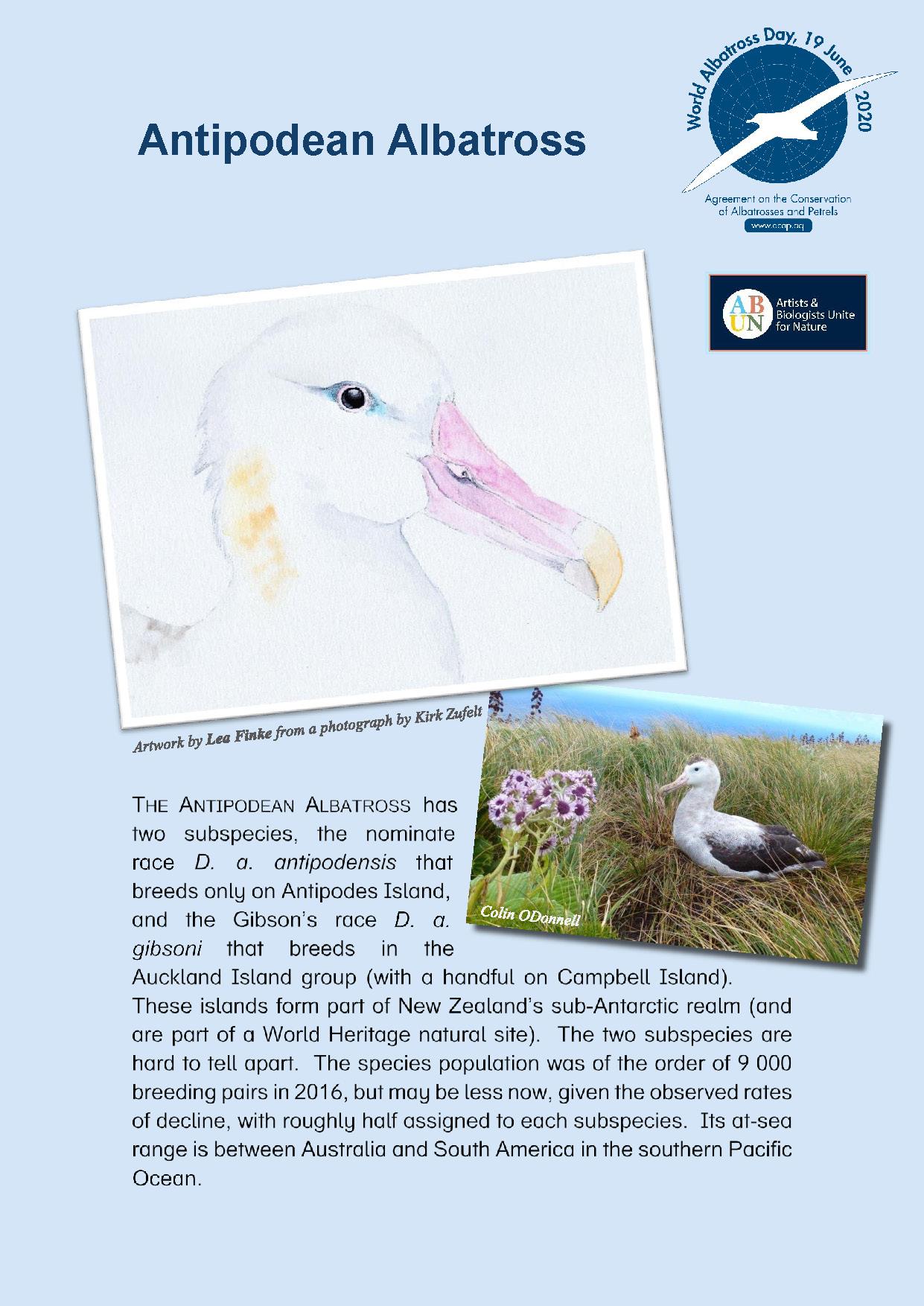 Albatros de las Antípodas