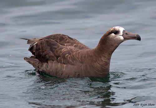 Colouring in Black footed Albatross, Diane Andersen