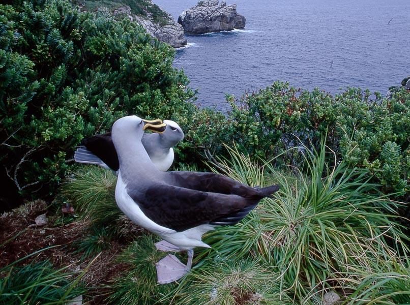 Colouring in Buller's Albatrosses, Diane Andersen
