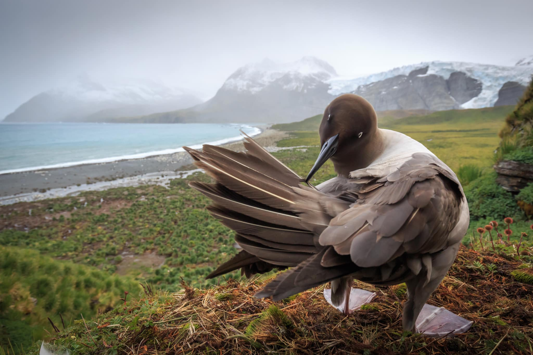 Colouring in Light Mantled Albatross, Marion Schön