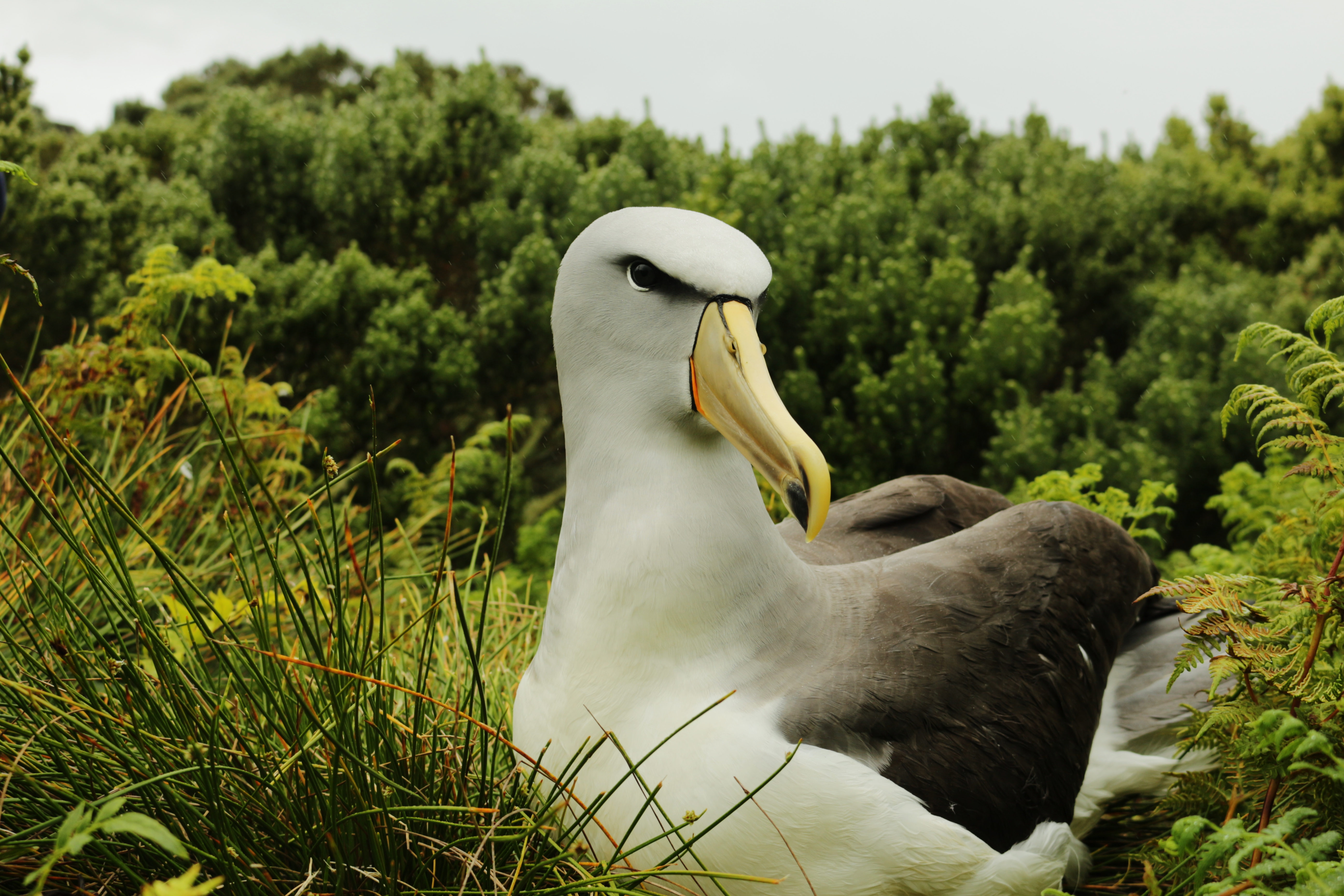 Colouring in Salvin's Albatross, Diana Andersen