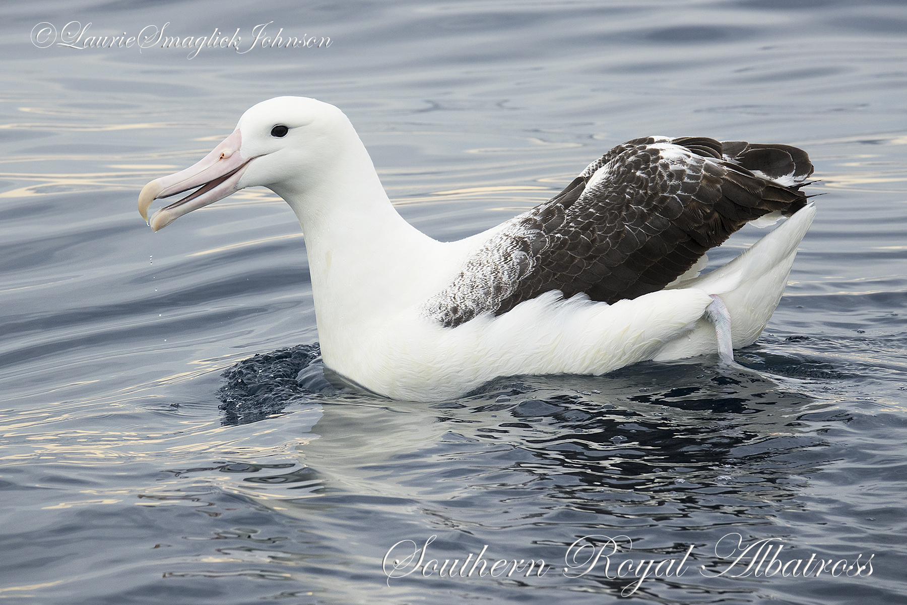 Colouring in Southern Royal Albatross, Diana Andersen