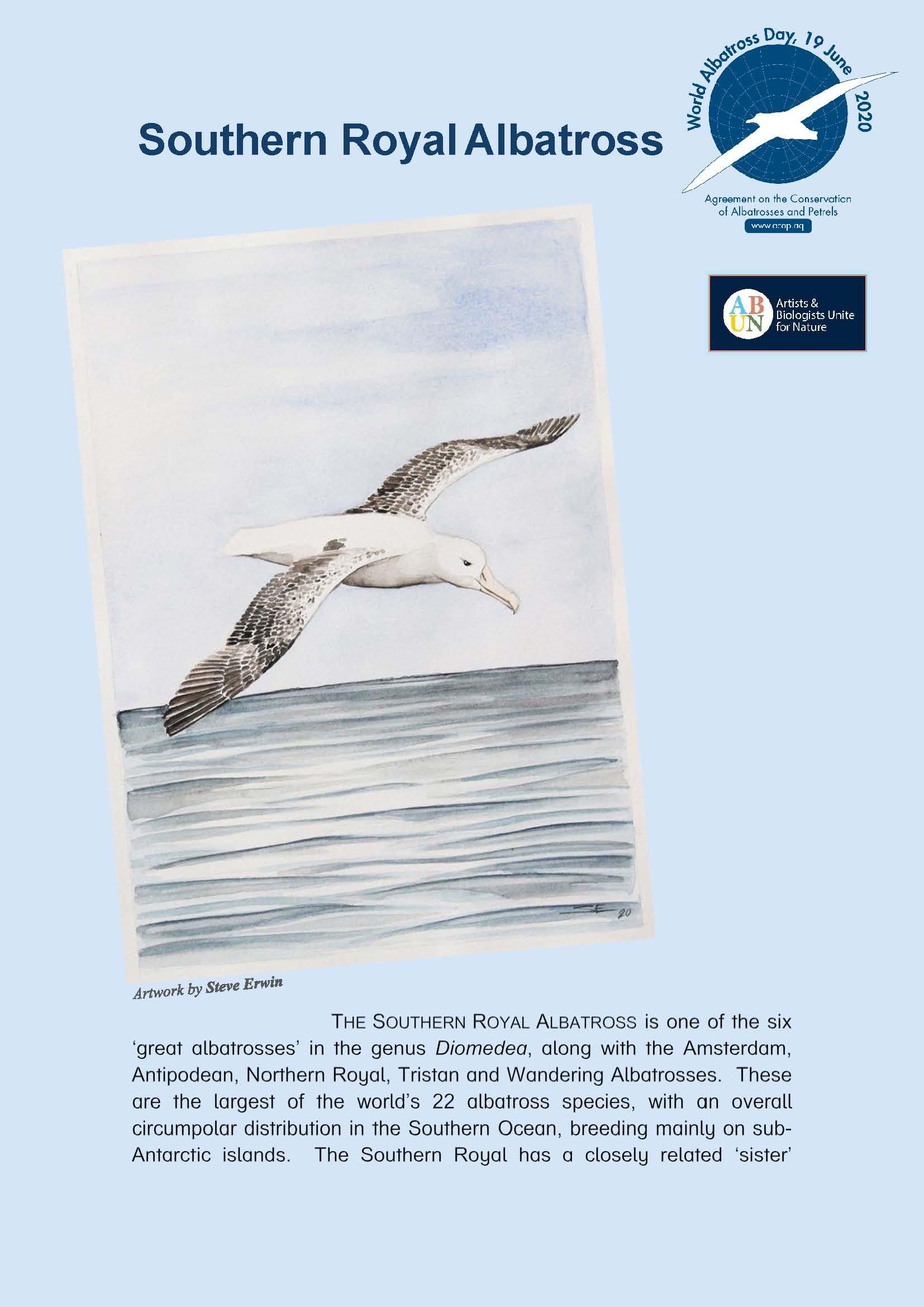 Albatros real del sur