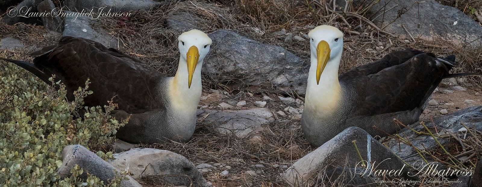Colouring in Waved Albatross, Diana Andersen
