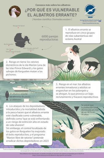 Albatros errante infographic