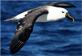 Albatros de nariz amarilla del Indico