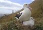 Albatros real del norte