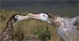 Albatros de las Antipodas