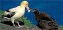 Albatros de cola corta