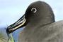 Albatros fuligineux à dos sombre
